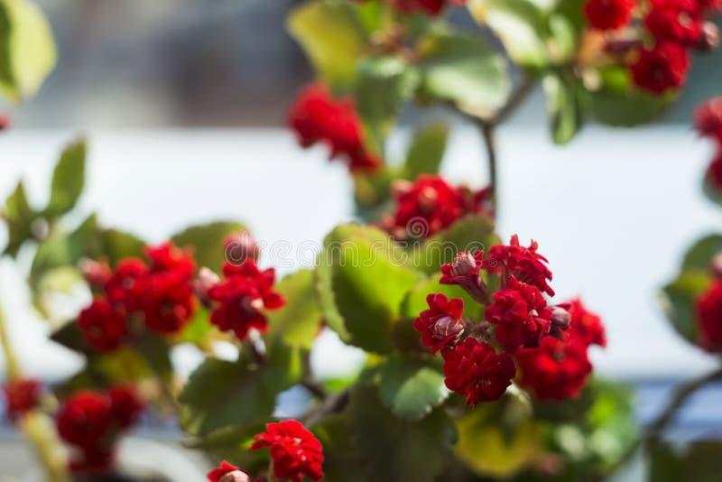 Red multi-leaf Kalanchoe, home flowering plant, flowerpot, macro stock photos