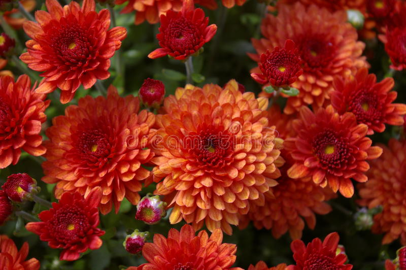Red mums in the fall stock images