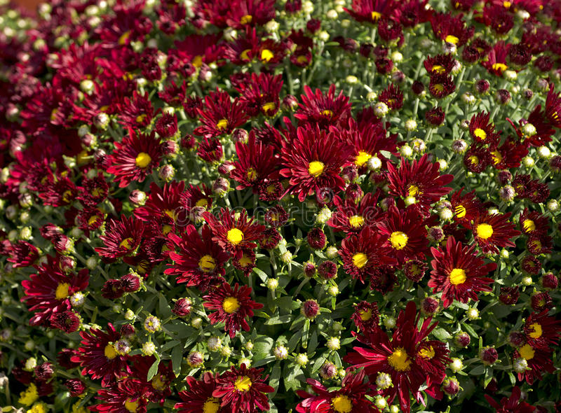 Red Mums Yellow Centers Group