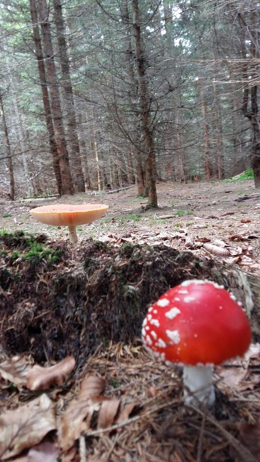Download RED MUSHROOMS stock photo. Image of tree, poison, flora - 82191242