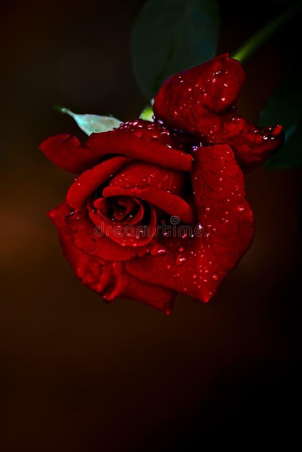 Free Red  N Fragrant Rose - Hybrid Tea Stock Photography - 12715912
