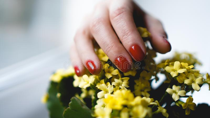 Red nails and yellow flowers. Beautiful composition of vivid colors. Groomed and healthy womans hands royalty free stock photos