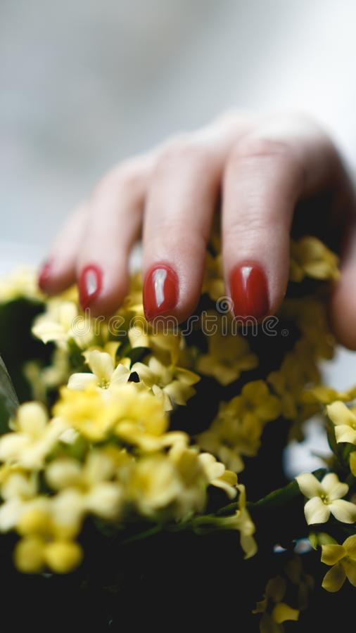 Red nails and yellow flowers. Beautiful composition of vivid colors. Groomed and healthy womans hands royalty free stock photography