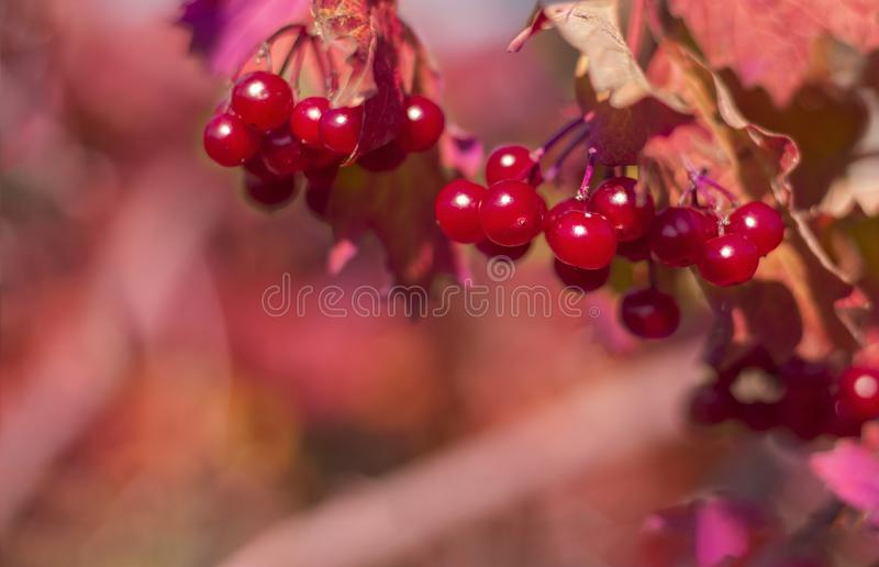 Red natural background of a bunch of viburnum growing on a Bush royalty free stock photo