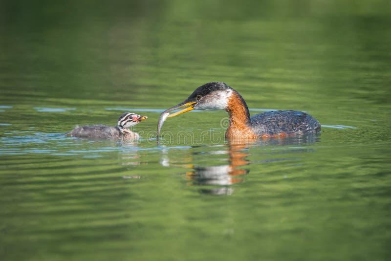 Red-necked对小鸡的格里布哺养的鱼 图库摄影