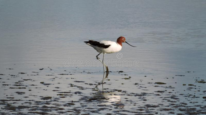 Red-necked avocet wading in shallow waters. With mud stuck on its feet as it is lifting leg up royalty free stock photo