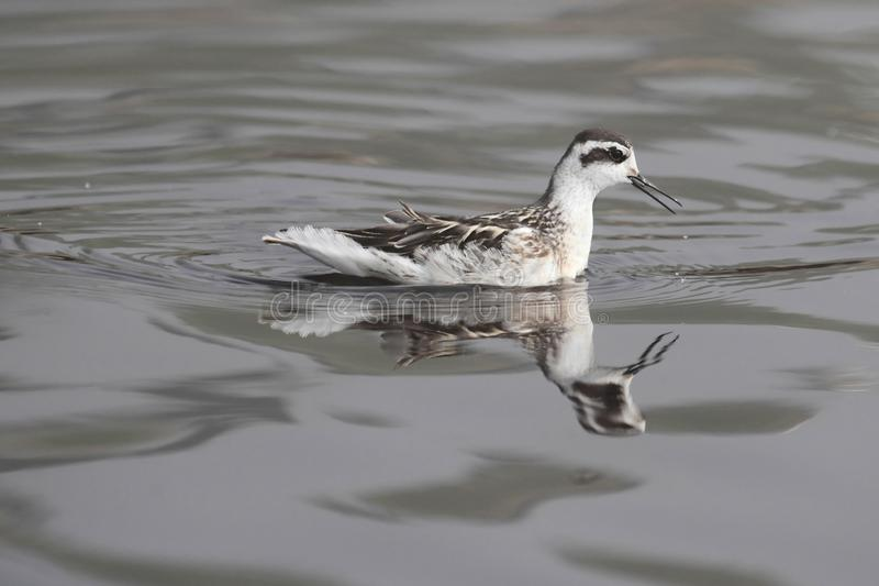 Download Red-necked Phalarope (Phalaropus Lobatus) Stock Photo - Image: 26419578