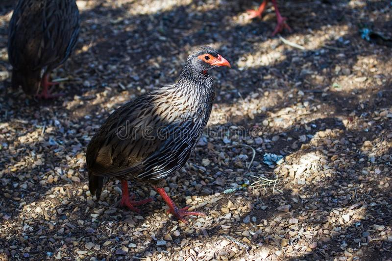 Red-necked Spurfowl bird. Walking across shaded gravel path in Addo Elephant Park, South Africa royalty free stock photography