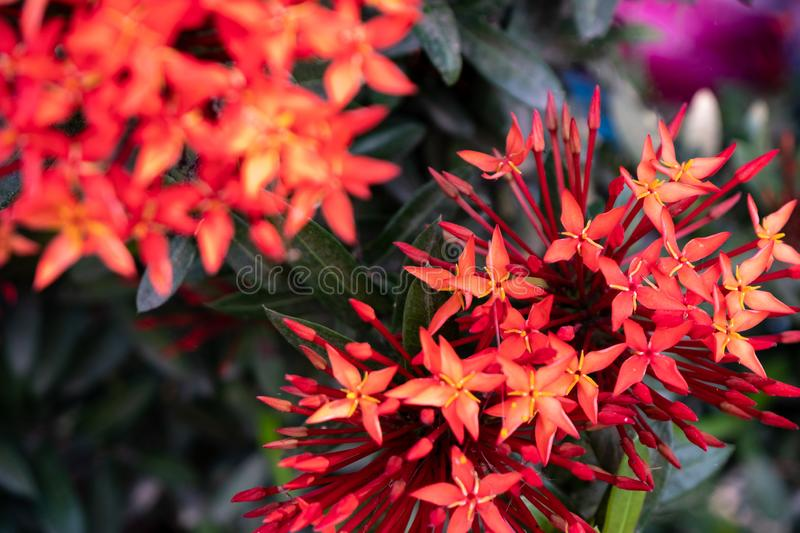 Red needle inflorescences in the garden stock photography