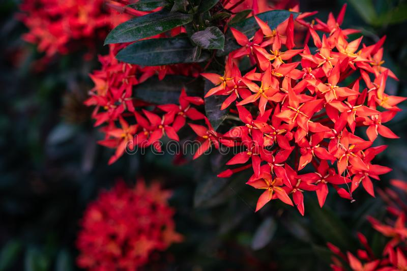 Red needle inflorescences in the garden royalty free stock photo