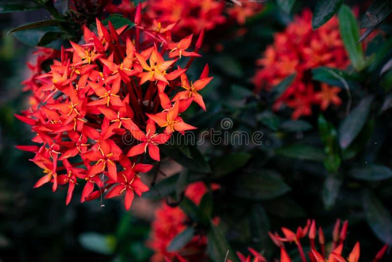 Red needle inflorescences in the garden stock photos
