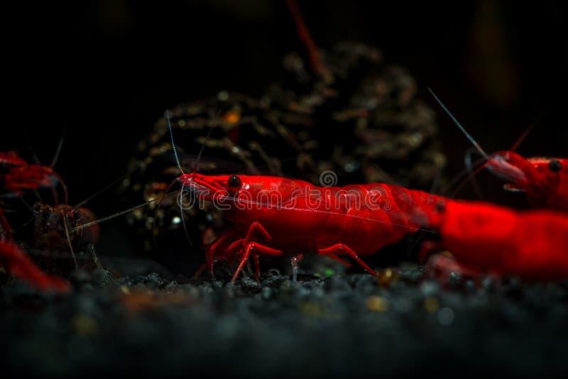 Red neocaridina shrimp fire pet aquarium water stock photography