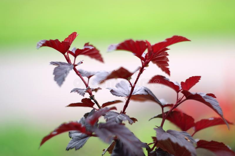 Red nettle is a decorative plant at close range as a background royalty free stock photos