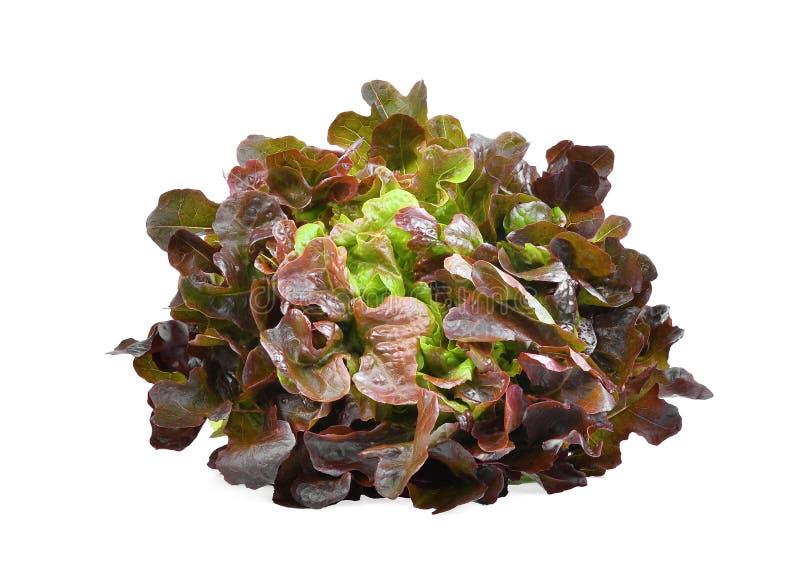 Red oak lettuce isolated on white. Background royalty free stock image