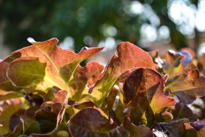 Red oak in organic farm stock photo