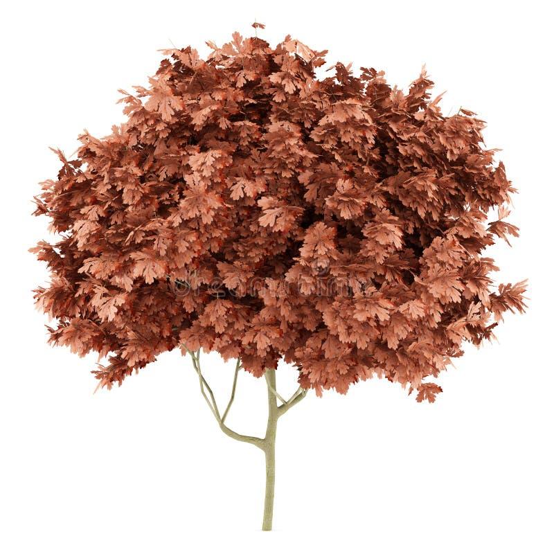 Red oak tree isolated on white royalty free illustration