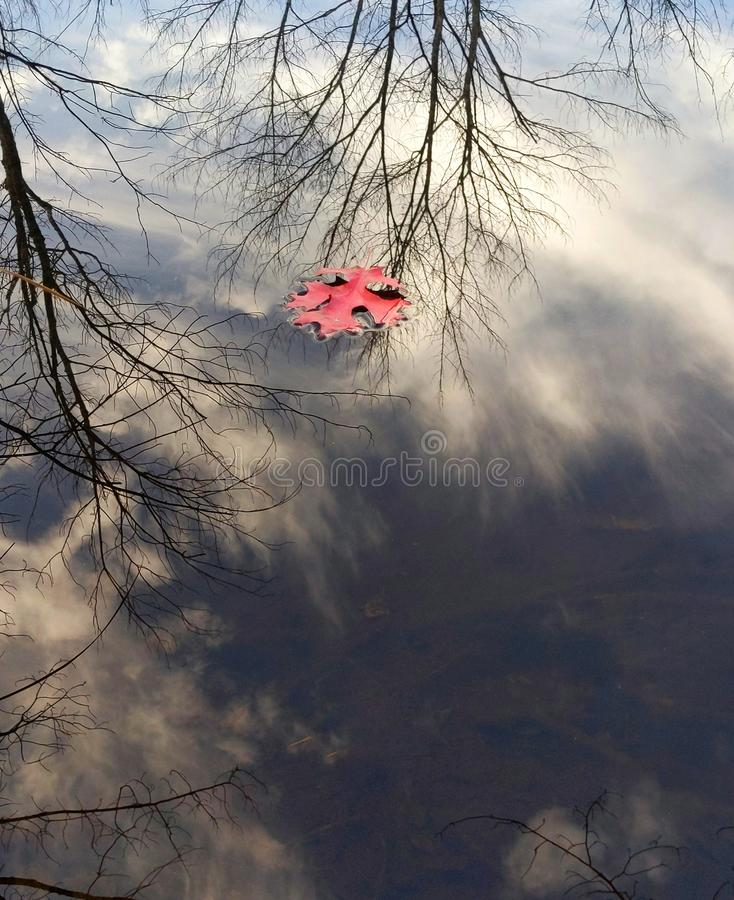 Red Oak Tree Leaf Floating in Water royalty free stock photo