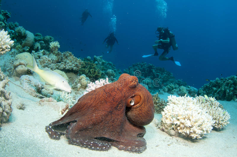 Download Red Octopus stock photo. Image of reef, underwater, soft - 24555616
