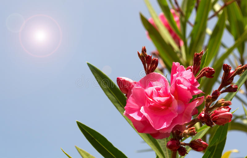 Download Red oleander stock photo. Image of summer, blue, tree - 32010606