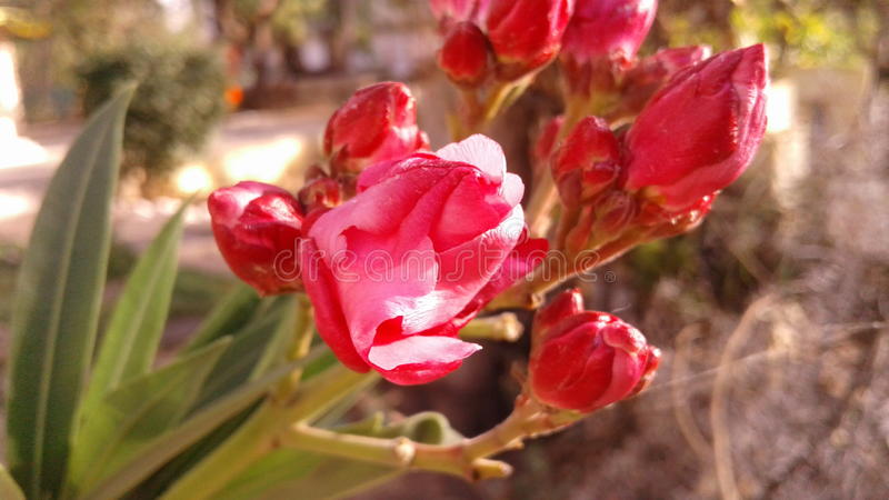 Red Oleander royalty free stock photography