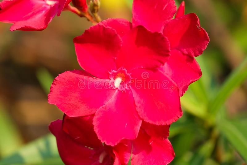 Red oleander or Nerium flower blossoming on tree. royalty free stock images