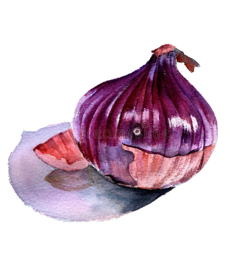 Red onion. Watercolor sketch on a white background. vector illustration