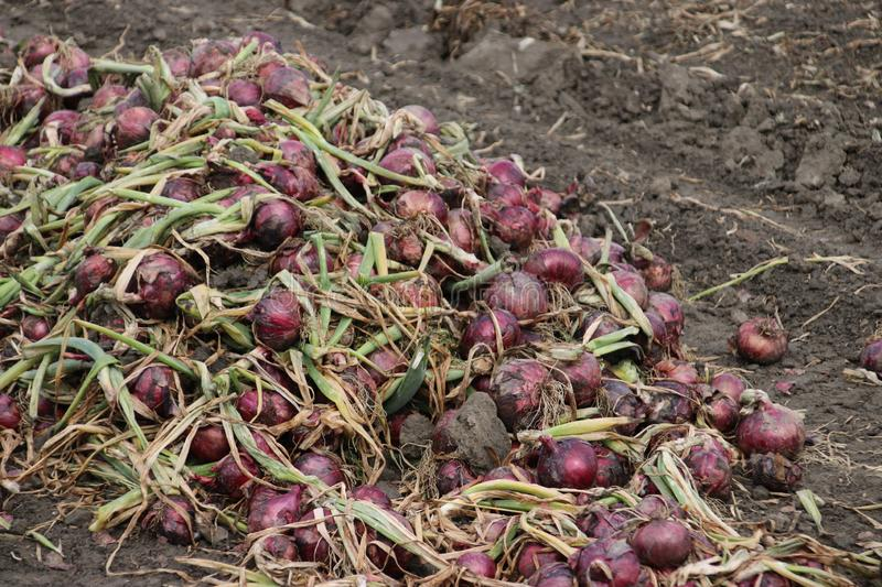 Red onions drying in the field after harvesting them in the Noordoostpolder in the Netherlands. royalty free stock image