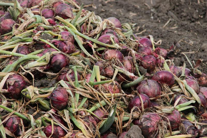 Red onions drying in the field after harvesting them in the Noordoostpolder in the Netherlands. royalty free stock images