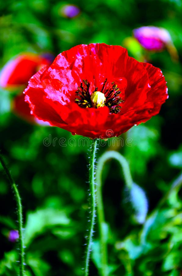 Red Opium poppy in detail on beautiful nature background / Papaver somniferum stock image