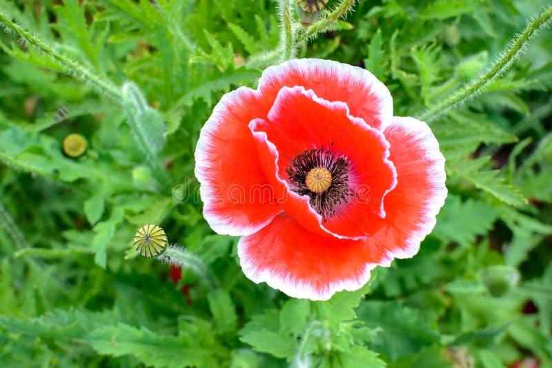 Red opium poppy flower stock photo image of nature 64904090 close up of red opium poppy flower mightylinksfo
