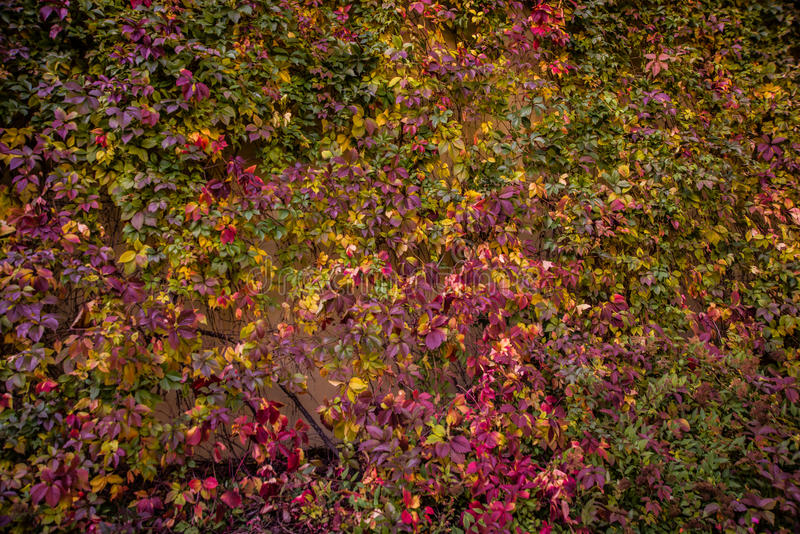 Red and Orange Autumn Leaves Background. Beautiful Red and Orange Autumn Leaves Background royalty free stock photos