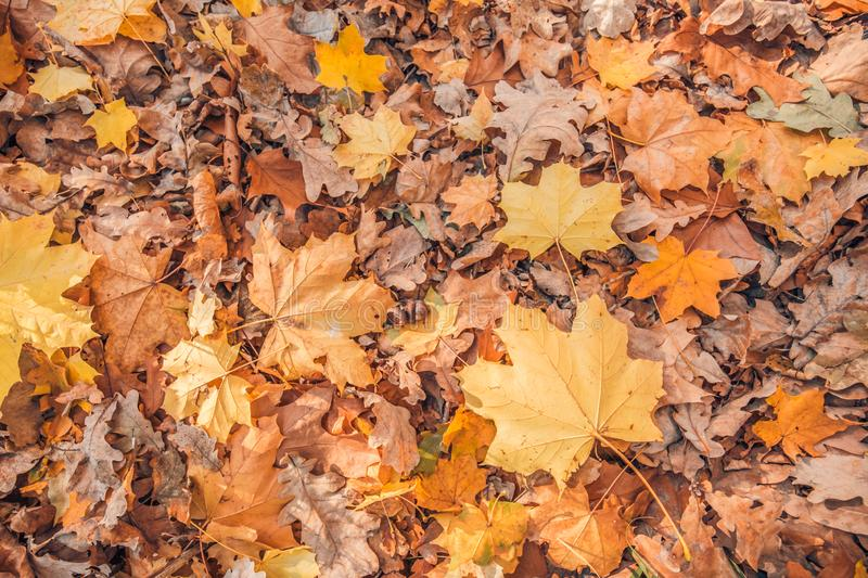 Autumn. Multicolored maple leaves lie on the grass, vintage toned stock photos