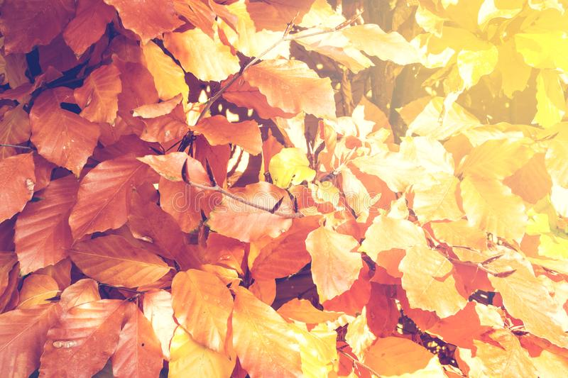 Red and Orange Autumn Leaves Background with sunlight close-up autumn season. Colorful royalty free stock image