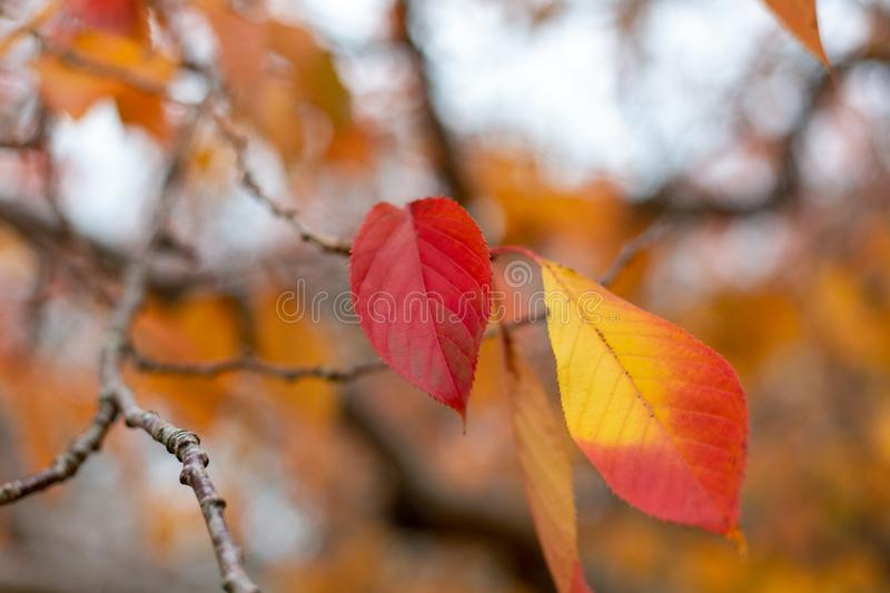 Red and Orange Autumn leaves with blurred background at Mount lo royalty free stock images