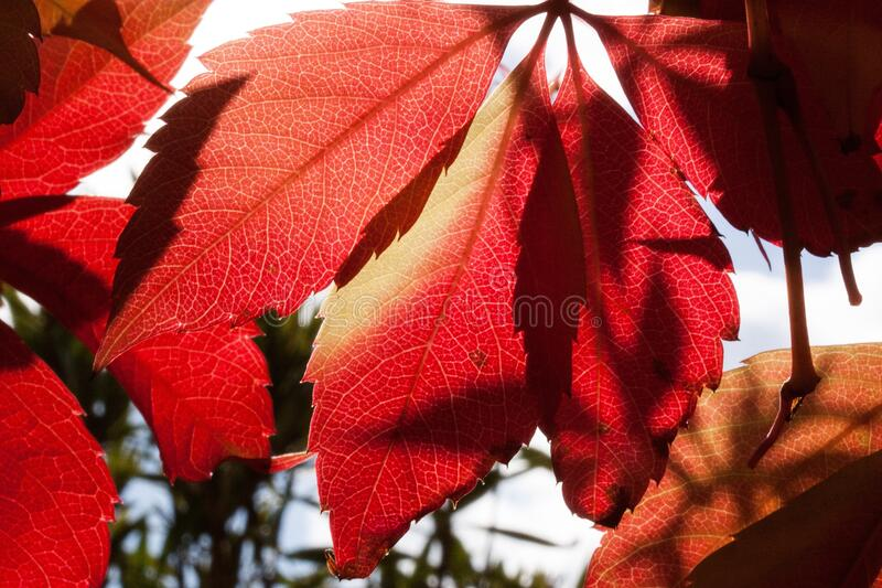 Red and Orange Autumn Leaves Close Up Photogrpah stock photos