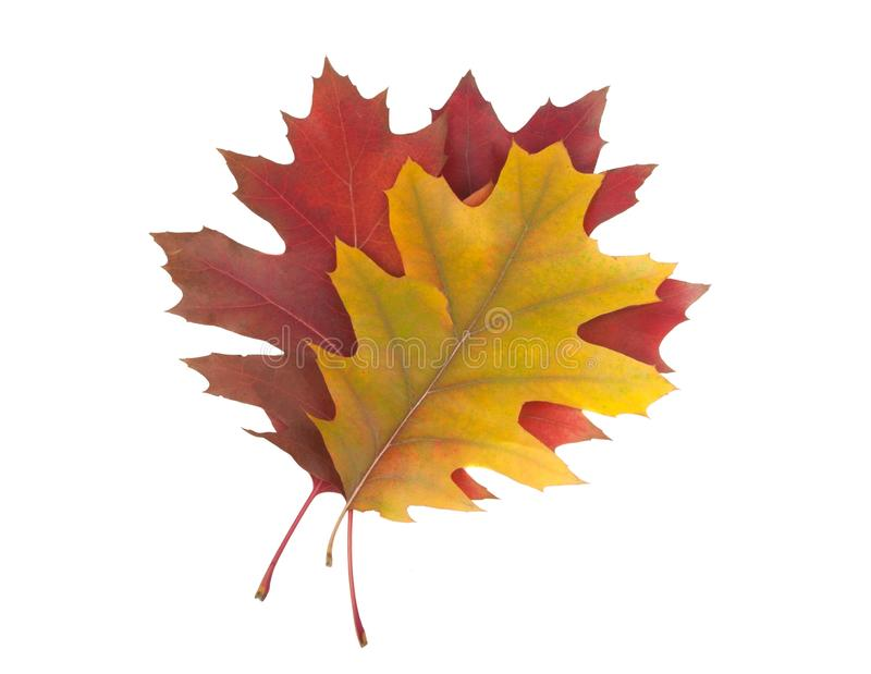red orange autumn leaves isolated royalty free stock photos
