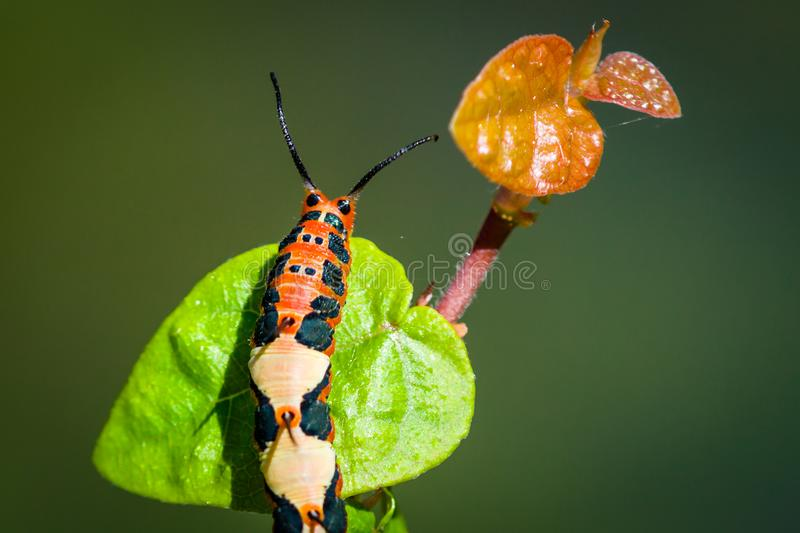 Red orange, black and yellow caterpillar climbing a green leaf macro photography. Green background out of focus royalty free stock images