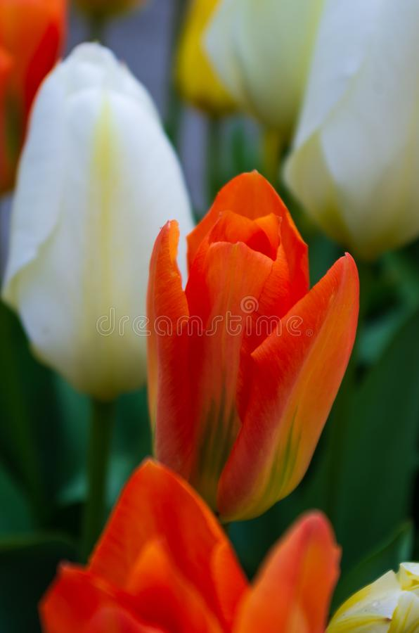 Red orange blooming tulip flower close up shot. White tulip in the background stock images