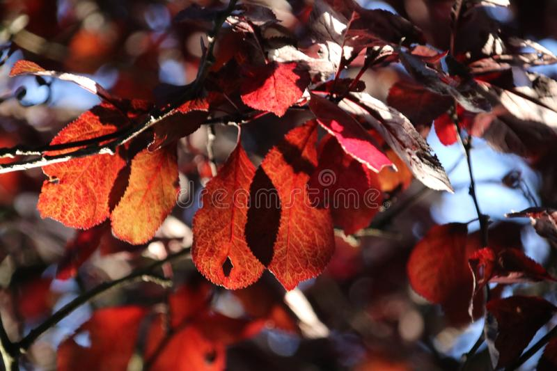 Red, orange and brown leaves during the autumn season in the sun at trees royalty free stock photography
