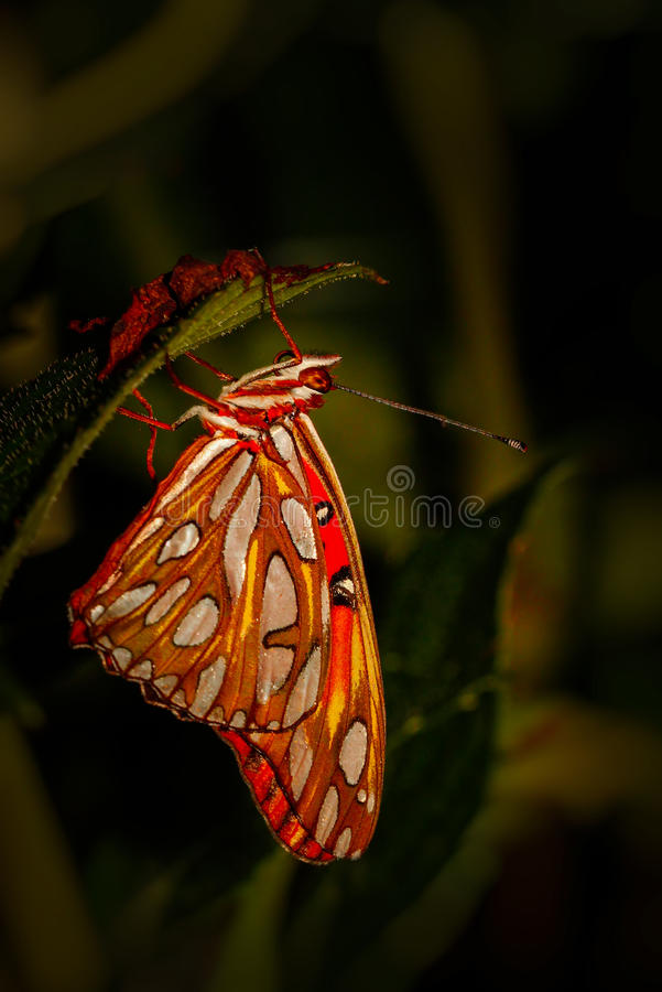 Red and orange butterfly, close up macro shot stock photo