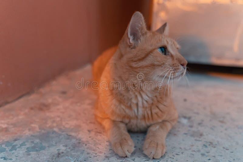 Red orange cat lying and sunbathing, illuminated by warm beautiful sunset light. Selective focus. Brown tabby cat lying in the yard and sunbathing, illuminated stock photos