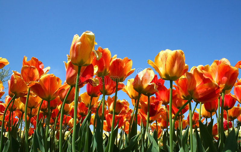 Red And Orange Colored Tulips stock photography