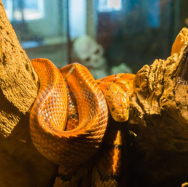 Red orange corn rat snake on a branch in the terrarium with a creepy skeleton in the background. A red orange corn rat snake on a branch in the terrarium with a stock photo