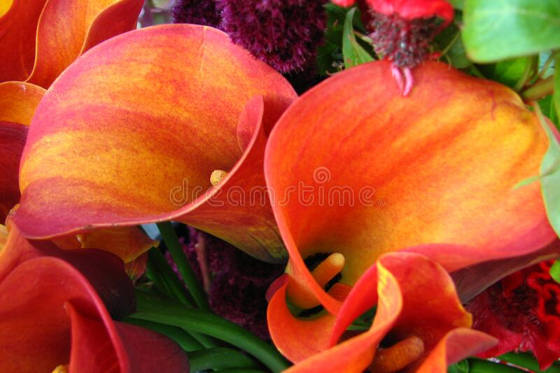 red-orange dwarf calla lilies stock images