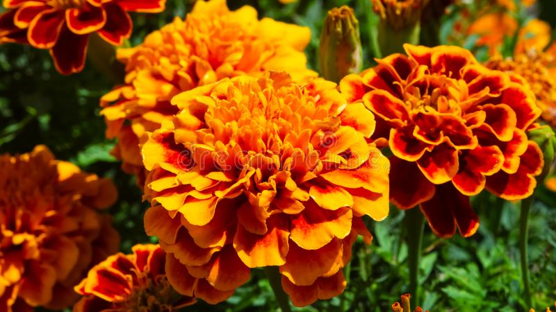 Red and orange flowers of Mexican or Aztec Marigold, Tagetes erecta, at flowerbed close-up, selective focus, shallow DOF stock image