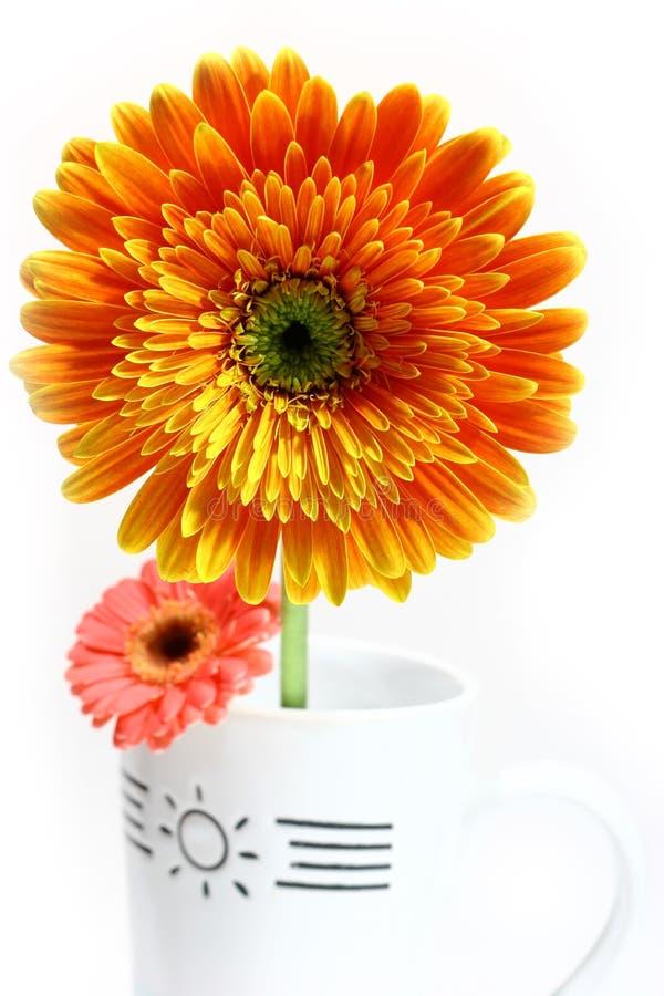 Red and orange gerber daisy stock photos