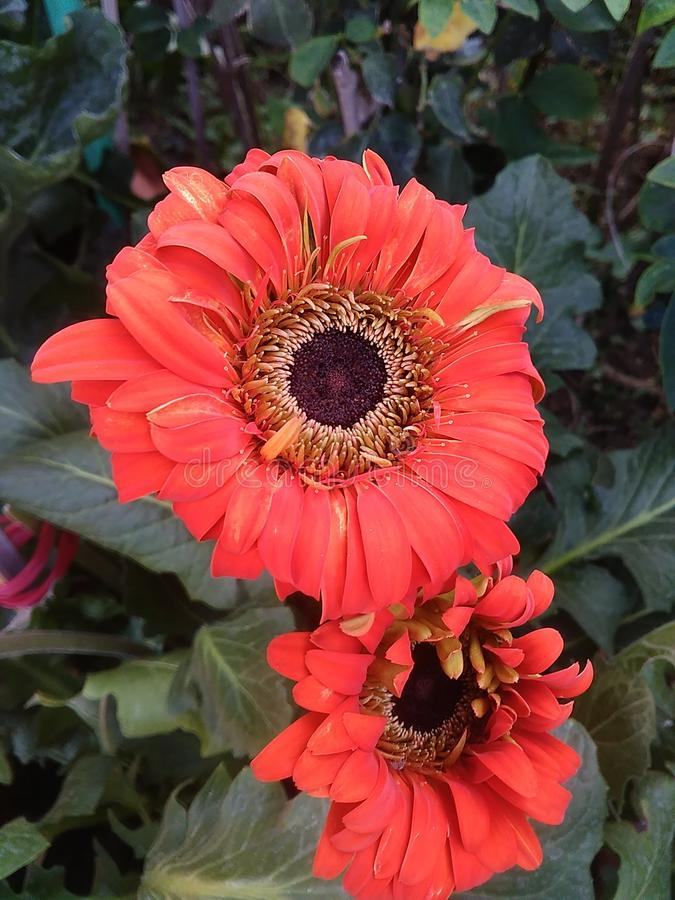 Red with orange Gerbera flower stock images