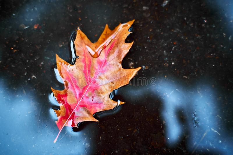 Red-orange leaf in a puddle.  The concept of autumn. stock image