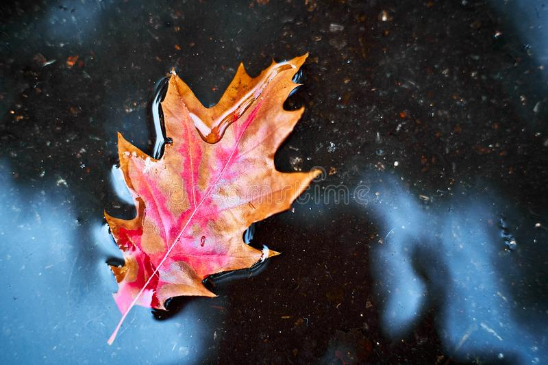 Red-orange leaf in a puddle.  The concept of autumn. royalty free stock photo