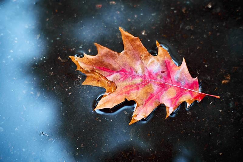 Red-orange leaf in a puddle.  The concept of autumn. royalty free stock images
